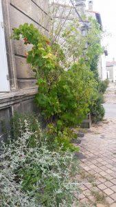 vegetalisation-trottoirs-bordeaux