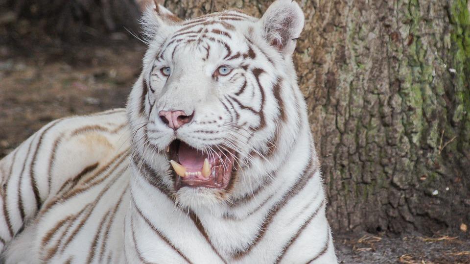 tigre blanc zoo